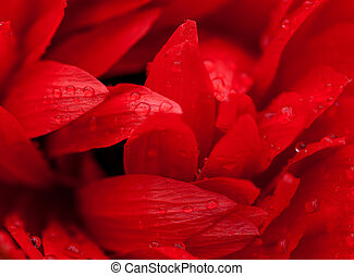 Among Petals. Macro abstract of red daisy flower.