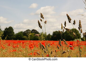 Poppy field through grass - Field of poppies through grass...