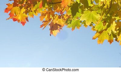 Autumn colorful bright branch tree with bright foliage on a...