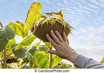 Farmer examining crop of sunflowers in the field.