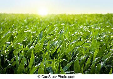 Maize field in sunrise