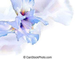White iris - Beautiful floral background with white iris and...