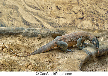 Komodo Dragon - Komodo dragon, world largest lizard in...