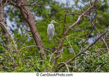 Intermediate Egret in nature - Intermediate Egret perching...