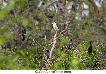 Black-crowned Night Heron Nycticorax nycticorax in natural