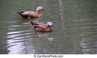 ducks on lake