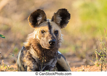 Close up and portrait of a cute Wild Dog or Lycaon lying...