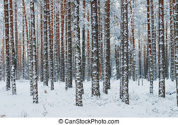 Tree trunks covered with snow