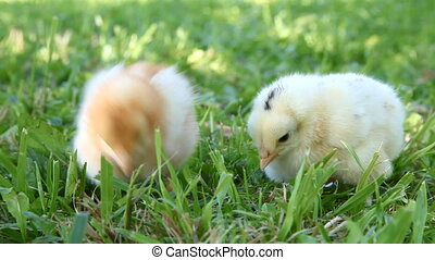 Two cute chicks - Two chicks searching for food in the grass