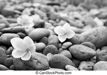 Plumeria flower on stone black and white tone color for spa relax