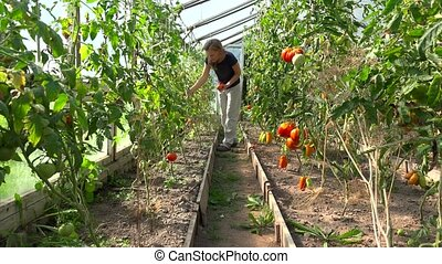 farmer woman picking organic tomatoes in greenhouse