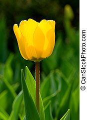 Single tulip flower - The close up view of a single yellow...