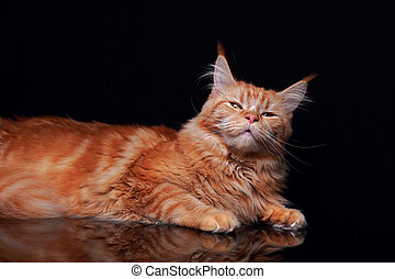 Blissing female red solid maine coon cat with beautiful...