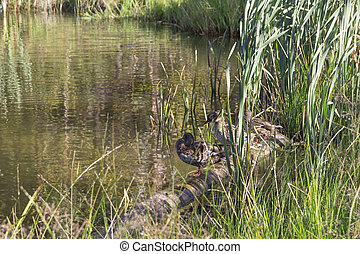 hree wild ducks sit on the lake among the reeds.