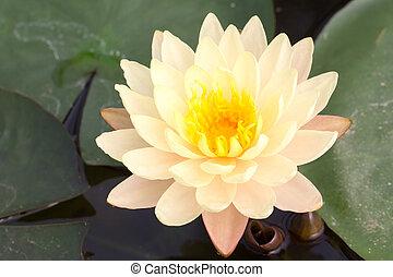 yellow lotus - close up of yellow lotus