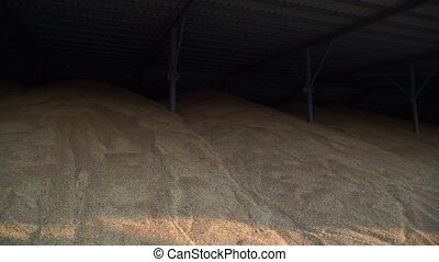 A large amount of grain - Storage under the roof, the...