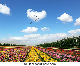 The flock of migratory birds - Flower kibbutz near Gaza...