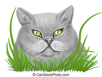 british shorthair isolated on a white background