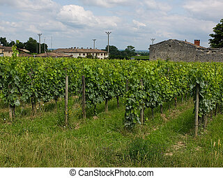 vineyards near sant Emilion in France,merlot
