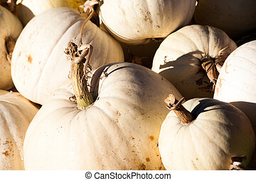 Sun Bathing White Pumpkins - White pumpkins soaking up the...