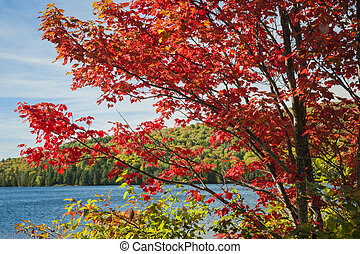 Red maple on lake shore - Fall maple tree with red autumn...