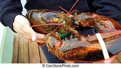 Fresh caught lobster. - Man holding fresh caught lobster on...