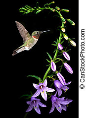Ruby-throated hummingbird feeding from beautiful tropical...