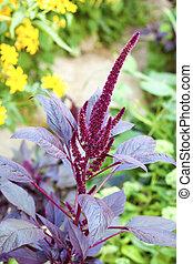 (amaranthus,  amaranth,  cruentus), rojo,  inflorescence