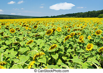 Field of sunflowers in a summer sunny day
