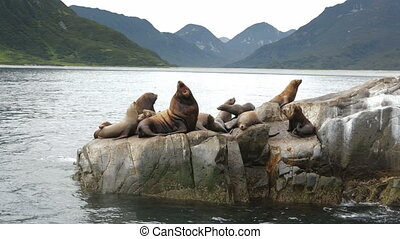 Rookery Steller sea lions. Island in Pacific Ocean near Kamchatka Peninsula.