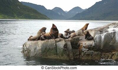 Rookery Steller sea lions. Island in Pacific Ocean near...