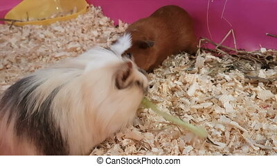 Guinea pigs eating lettuce. Struggle for food.