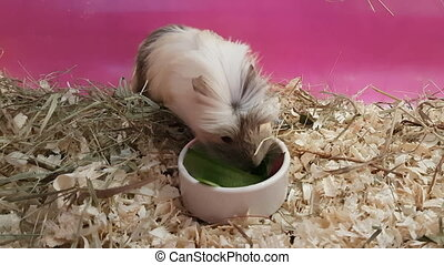 Guinea pigs eating cucumbers and beets. Struggle for food.