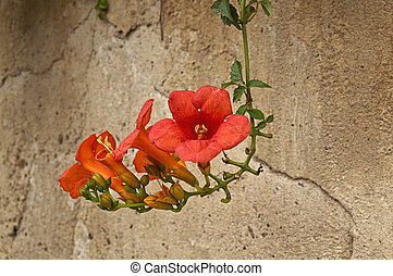 Beautiful red oleander flower over a old wall background.