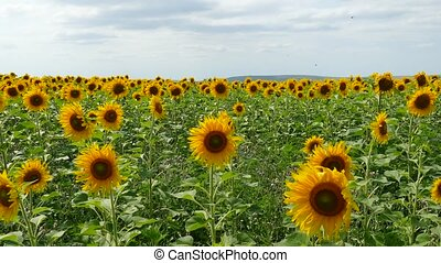 Blooming Sunflowers Dancing With Wind - Boundless field of...