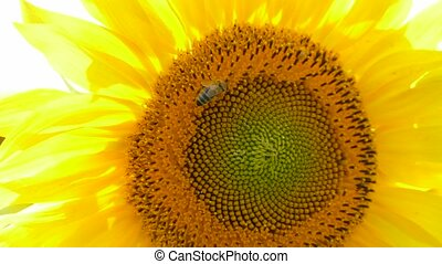 Bee Collecting Nectar On Sunflower - MACRO. Honey bee on a...