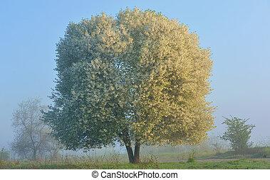 Florecer, Cereza, árbol