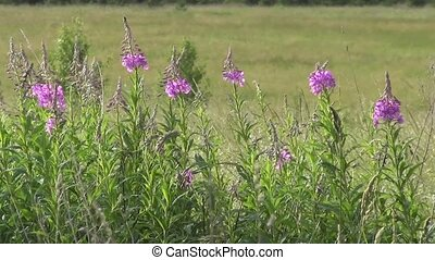 Willow herb (Ivan tea) Chamaenerion
