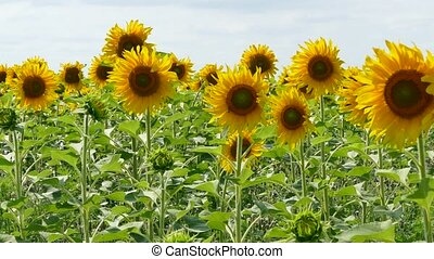 Field Of Blooming Sunflowers - Bright rural scenery. Field...