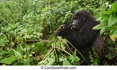 Mountain gorilla feeding in the forest - Front view of...