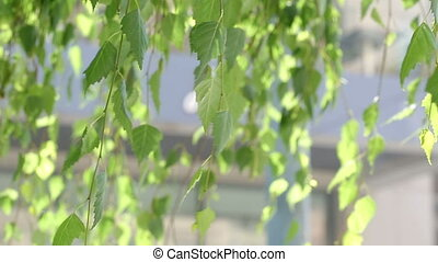 green birch leaves in the wind in summer in Sunny weather