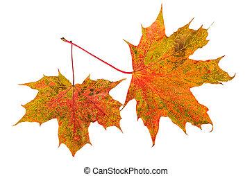 Maple fall leaf foliage on white