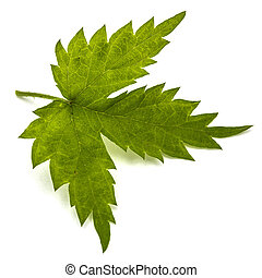 Young hops leaves closeup, isolated on white background