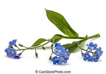Light blue flowers of Forget-me-not (Myosotis arvensis),...
