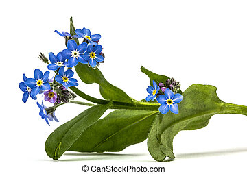 Light blue flowers of Forget-me-not (Myosotis arvensis),...