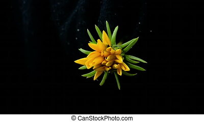 yellow flower blooms timelapse on black background