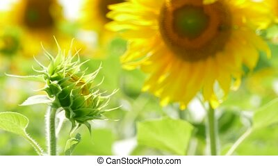 Unopened Sunflower Reaching To The Sun - CLOSE UP shot of...