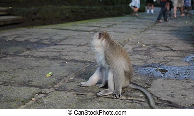 Wild monkey in Indonesia, Bali