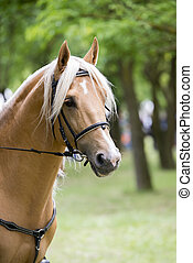 palomino horse - portrait of a palomino horse isolated...