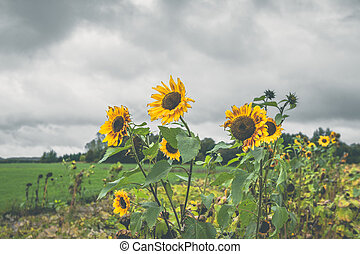Sunflowers on a field in cloudy weather